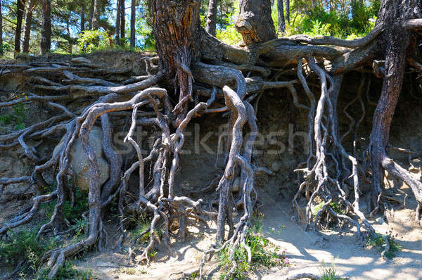 bared roots of tree in forest Stock photo © alinamd