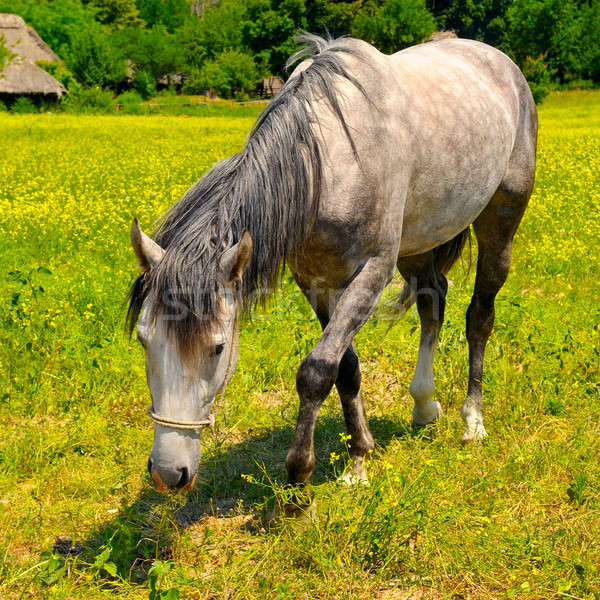 old horse grazing in a meadow Stock photo © alinamd