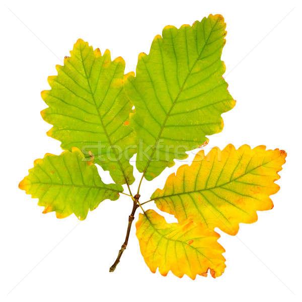 ősz tölgy levél izolált fehér fa Stock fotó © alinamd
