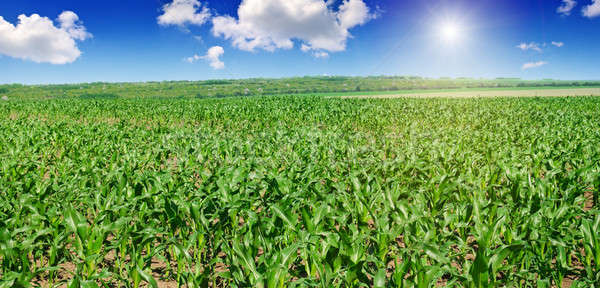 green corn field and blue sky Stock photo © alinamd