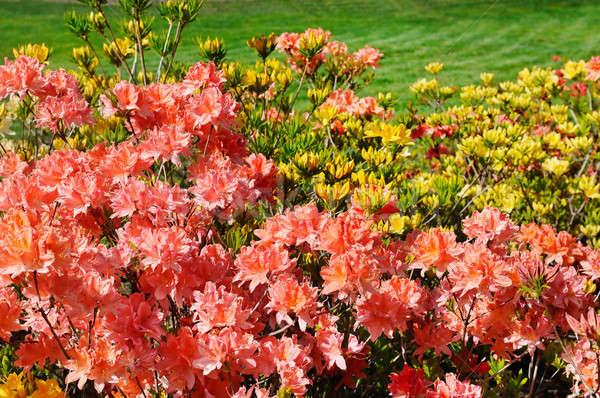 Fioritura verde prato fiore primavera Foto d'archivio © alinamd