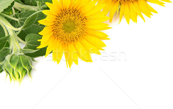 flowers sunflowers on a white background Stock photo © alinamd