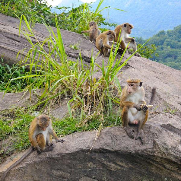 family of wild monkeys on the ledge Stock photo © alinamd