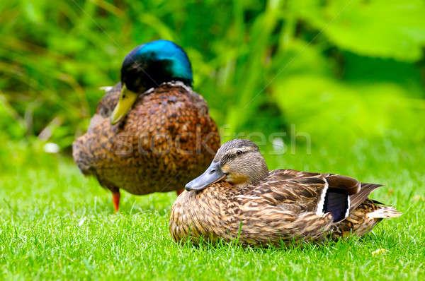Iç ördek yeşil bitkiler su doğa Stok fotoğraf © alinamd