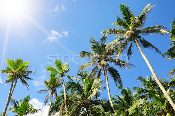 palm trees against the blue sky and sun Stock photo © alinamd