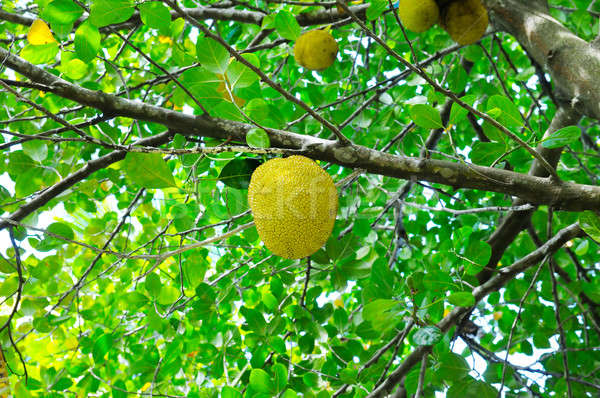breadfruit on a background of green leaves Stock photo © alinamd
