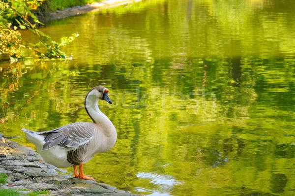 gray goose Stock photo © alinamd