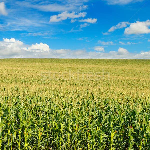 Zielone dziedzinie Błękitne niebo kukurydza trawy tle Zdjęcia stock © alinamd
