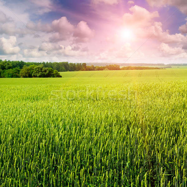 wheat field and sunrise in the blue sky Stock photo © alinamd
