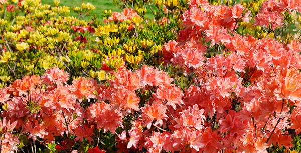 blooming rhododendron against green lawn Stock photo © alinamd