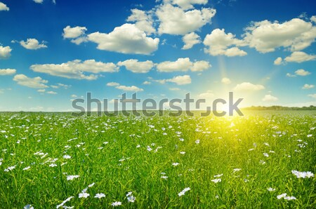 field with flowering flax and blue sky Stock photo © alinamd
