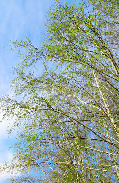birch twigs against the blue sky Stock photo © alinamd