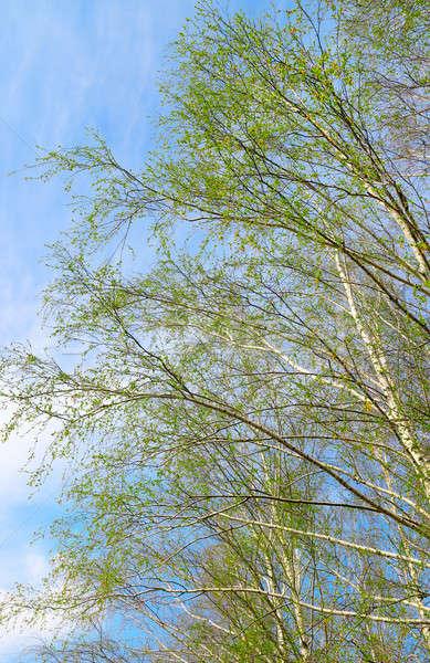 Nyírfa kék ég természet háttér fák szépség Stock fotó © alinamd