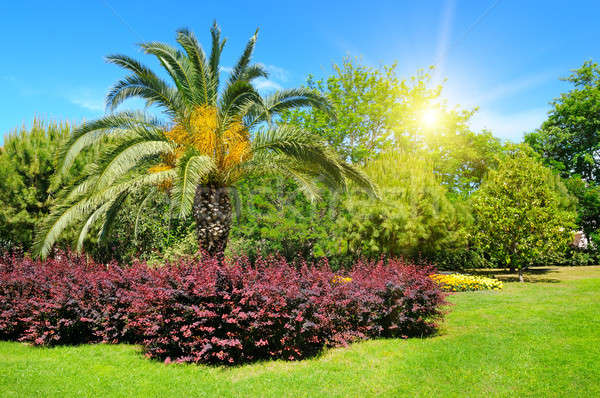 Summer park with tropical palm trees, flowerbed and lawn. Stock photo © alinamd