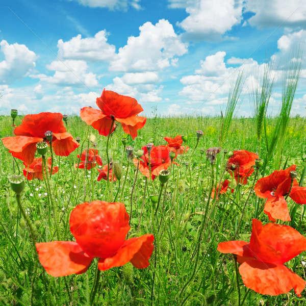 poppies on green field Stock photo © alinamd