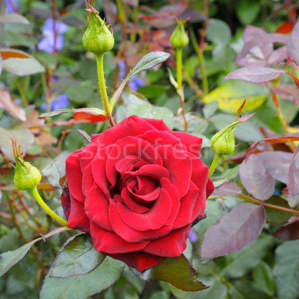 Rosa jardim de flores flor primavera fundo beleza Foto stock © alinamd