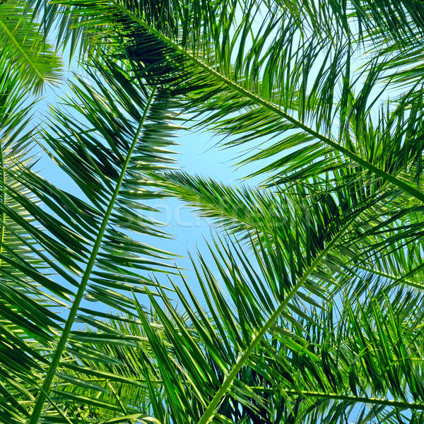 background of palm leaves and blue sky Stock photo © alinamd