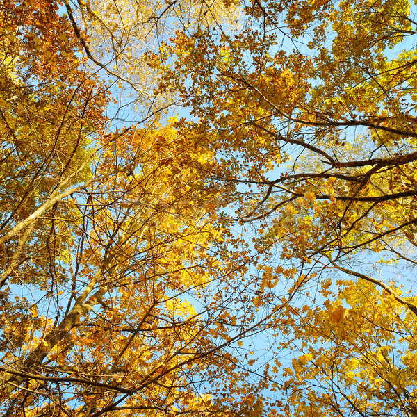 tree branches and yellow autumn leaves against the blue sky Stock photo © alinamd