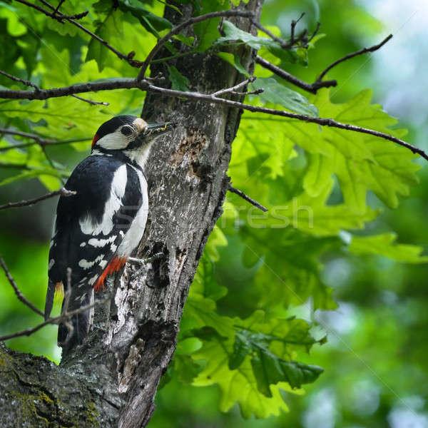 Insetto becco foglie verdi rovere primavera legno Foto d'archivio © alinamd