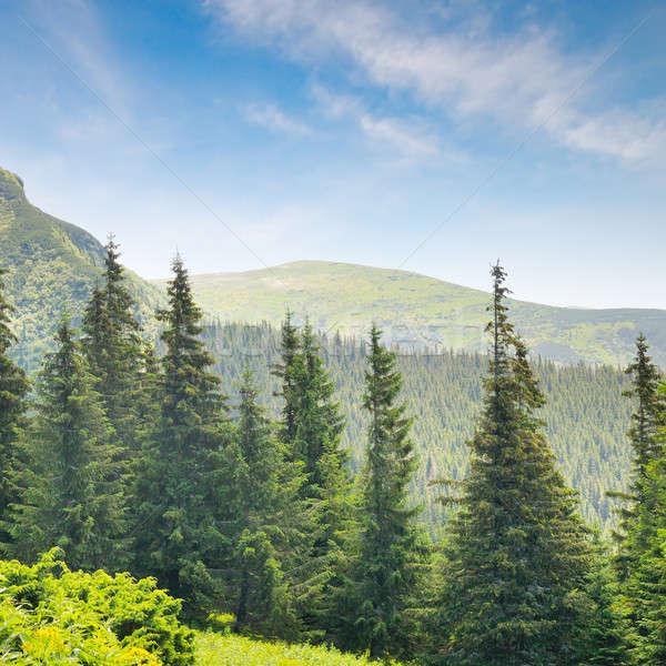 Lucfenyő erdő domboldal tavasz fű fa Stock fotó © alinamd