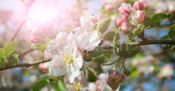 花 リンゴの木 日光 明るい 太陽 浅い ストックフォト © alinamd