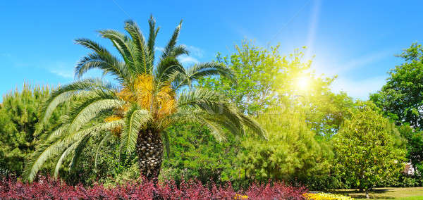 Summer park with tropical palm trees, flower beds and sun. Stock photo © alinamd
