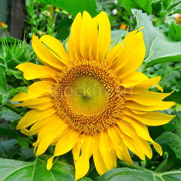 ひまわり 庭園 花壇 花 春 太陽 ストックフォト © alinamd