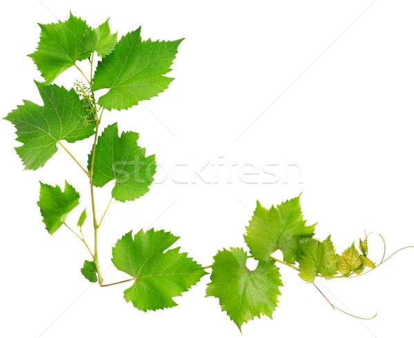 Videira folhas isolado branco textura natureza Foto stock © alinamd
