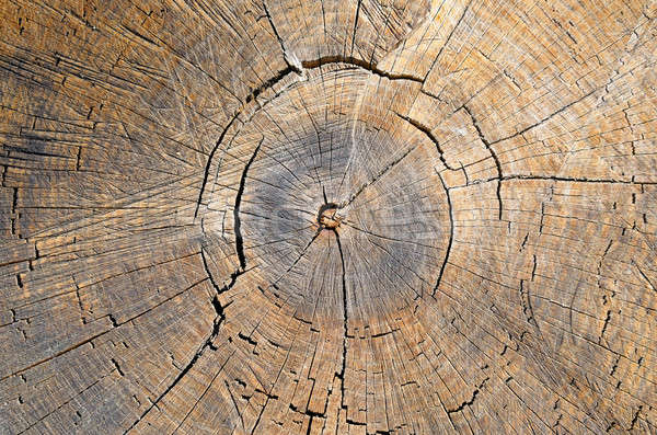 texture of the oak stump, background top view Stock photo © alinamd