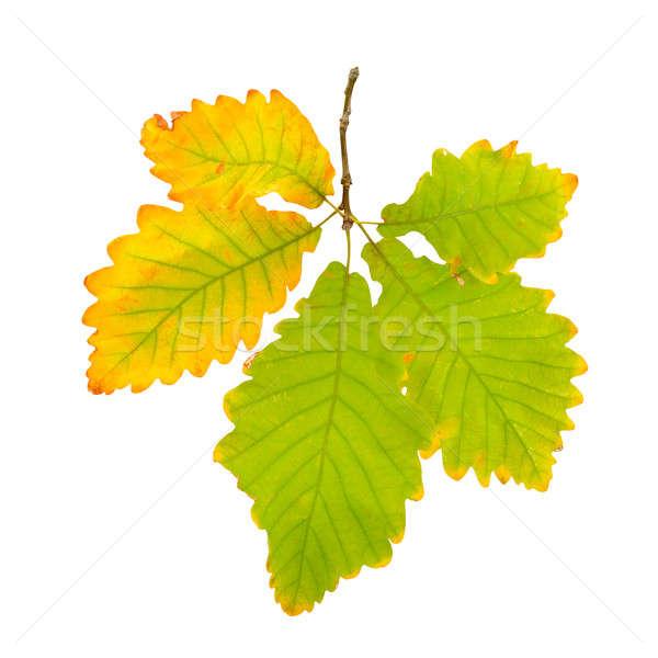 秋 オーク 葉 孤立した 白 背景 ストックフォト © alinamd