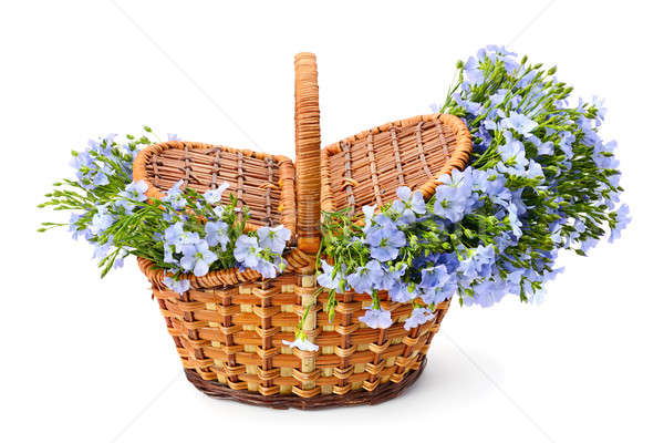 Flax flowers in a wicker basket isolated on white background Stock photo © alinamd