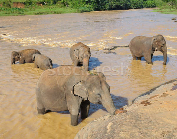 elephants bathing in the river Stock photo © alinamd
