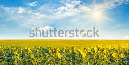 Zonnebloemen zon bewolkt hemel veld voorjaar Stockfoto © alinamd