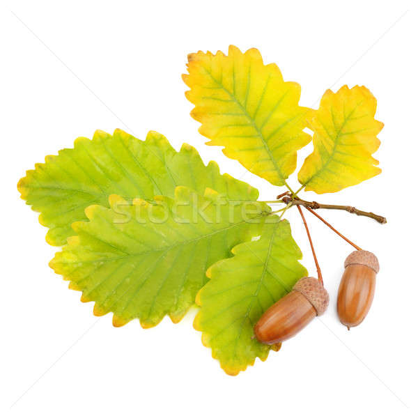 acorns and oak leaves isolated on white background Stock photo © alinamd