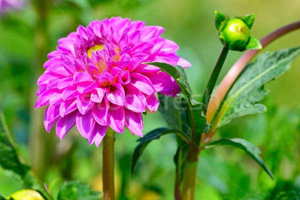 Dalia focus fiore poco profondo natura design Foto d'archivio © alinamd