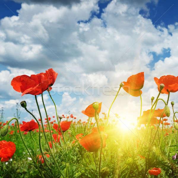 Stok fotoğraf: Alan · gelincikler · güneş · mavi · gökyüzü · çiçek · gün · batımı