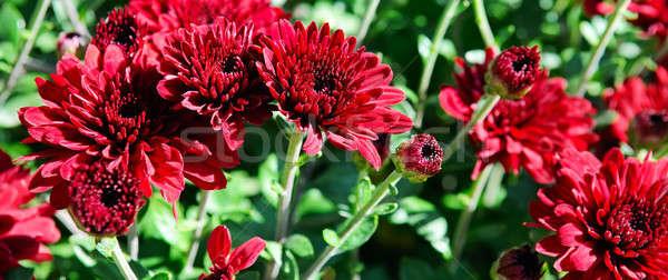 Heldere tuin bloemen mooie gras zon Stockfoto © alinamd