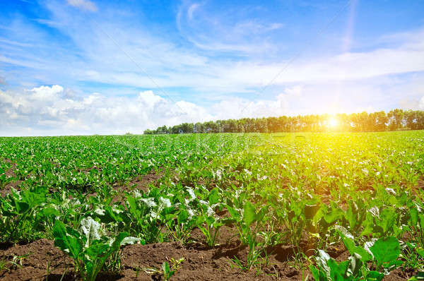 green beet field and blue sky Stock photo © alinamd