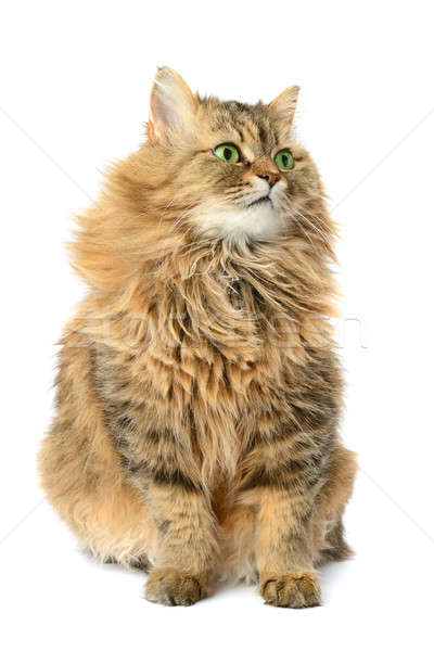 domestic cat isolated on a white background Stock photo © alinamd
