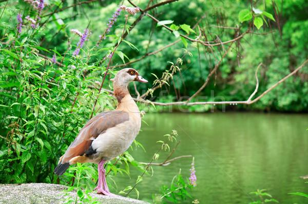 wild duck in a summer park Stock photo © alinamd