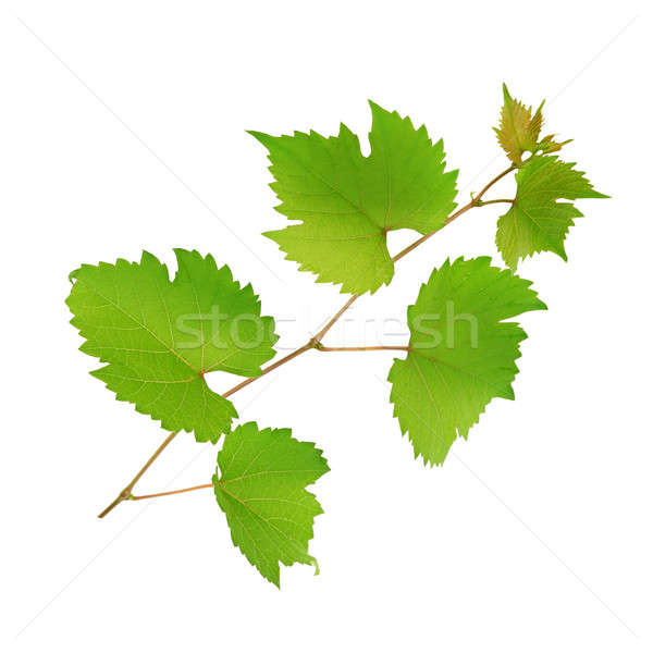 vine and leaves isolated on white background Stock photo © alinamd