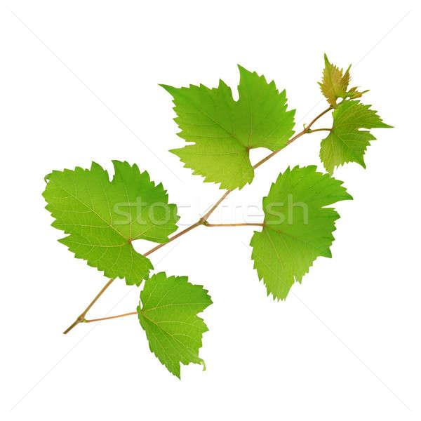 Vid hojas aislado blanco primavera naturaleza Foto stock © alinamd