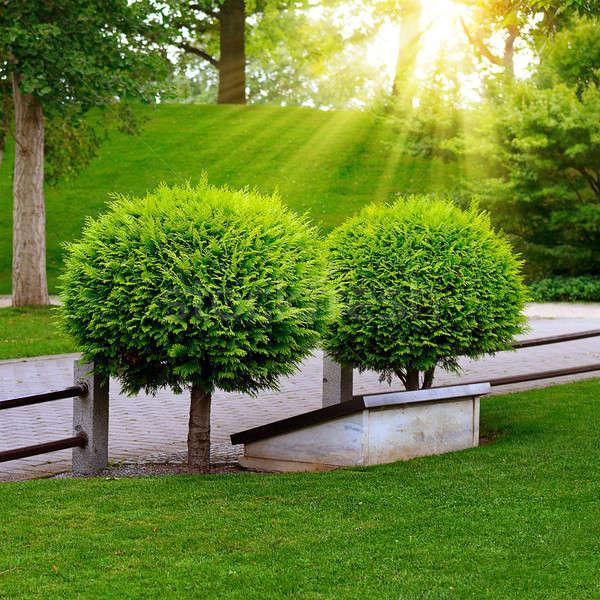 beautiful evergreen thuja in summer park Stock photo © alinamd