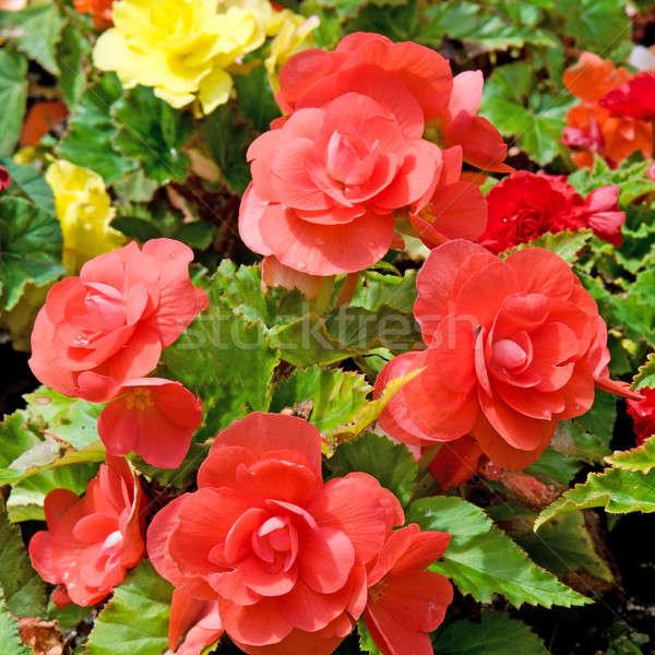 beautiful background of flowers begonias Stock photo © alinamd