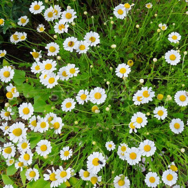 Stockfoto: Witte · groen · gras · bloem · gras · natuur · zomer