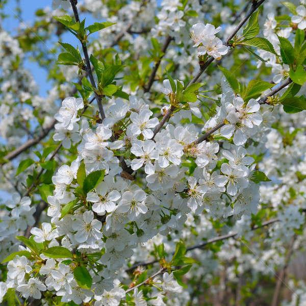 Floraison cerise verger ciel bleu ciel fleurs Photo stock © alinamd