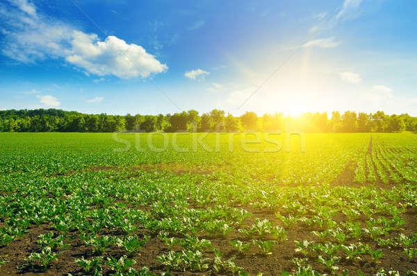 Yeşil alanları mavi gökyüzü alan bahar gıda Stok fotoğraf © alinamd
