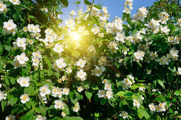 blooming jasmine bush on a background of blue sky Stock photo © alinamd