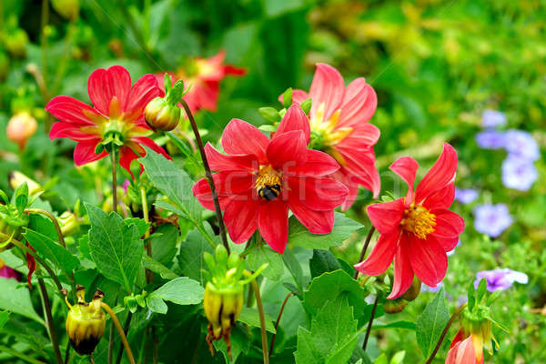 Stock photo: Dahlia, bumble bee on a flower. Focus it on the flowers. Shallow