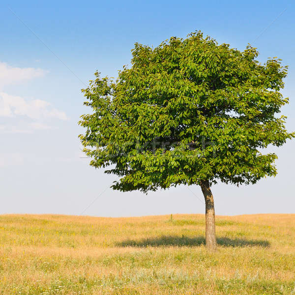 deciduous tree in the meadow and blue sky Stock photo © alinamd